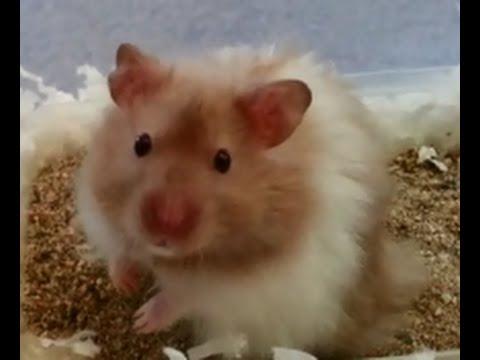 Syrian Teddy Bear Hamster Gets a New Flying Saucer ! - YouTube