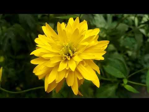 """Рудбекия """"Золотой Шар"""" рассеченная, высокие желтые цветы"""