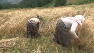 alaçam / yukarı ısırganlı köyünden orakla ekin biçilişi...