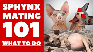 Sphynx Mating 101 : Everything you need to know