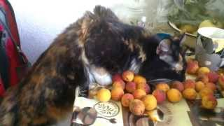 Кошки любят абрикосы! -))