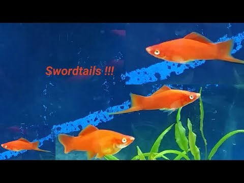 What Fish Can You Have With Swordtails - Swordtail Fish Compatible Tank Mates