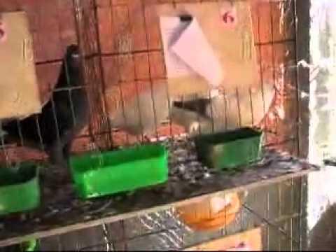 Trại bồ câu Lâm Đồng   YouTube