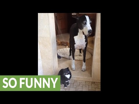 Great Dane totally confused by shower-loving cat