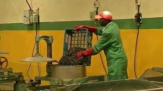 Kenya: Interest in violet tea production company [No Comment]