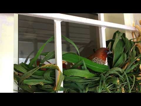 Scaly Breasted Munia Building Nest