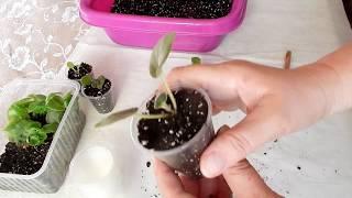 Узамбарская фиалка пересадка деток  в стаканчики комнатные цветы  уход