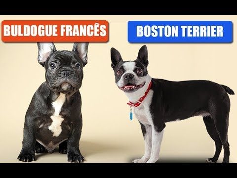 Boston terrier e buldo...