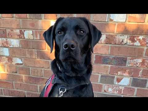 Neeco's Tasks And Tricks ~ Service Dog In Training