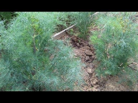 Как вырастить кустовой укроп