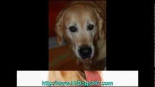 Treating Ear Infections In Labrador Retrievers.mp4