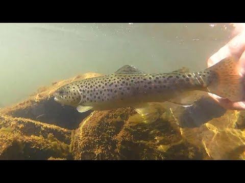 Little Brown Trout On Blue Fox Spinners