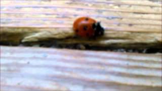 Божья коровка / Ladybug