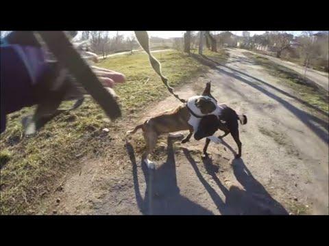 Амстаффтерьер против метиса питбультерьера / Amstaffterrier vs Mestizo Pit Bull Terrier
