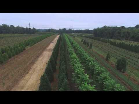 Leyland Cypress and Princeton Elm