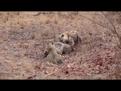 Leopard V Hyena Part 1