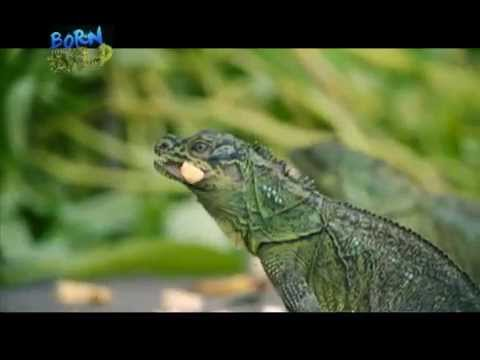 Doc Nielsen captures more footage of the Philippine sailfin lizard | Born to be Wild