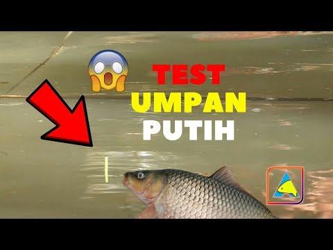 TES UMPAN PUTIH.. Mancing Ikan Mas Harian #carp fishing