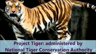 Tiger in India (Our National Animal)