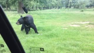 Bear attacking car at safari park: UK