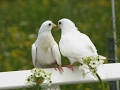 watch he video of House for Pigeons or Doves, White Dove, Pigeon - Голубятня, Голуби, Голубки