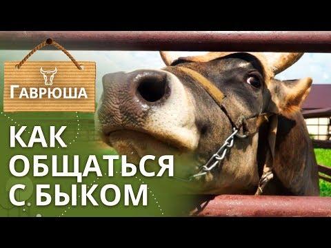 Джерсейский бык Гаврюша | Чем бык опасен для людей?
