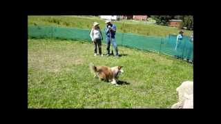 Sheltie  Sheepdog Training In Melbourne With Paul Macphail