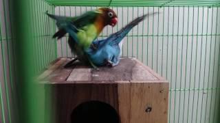 LOVEBIRD KAWIN / MAKING LOVE