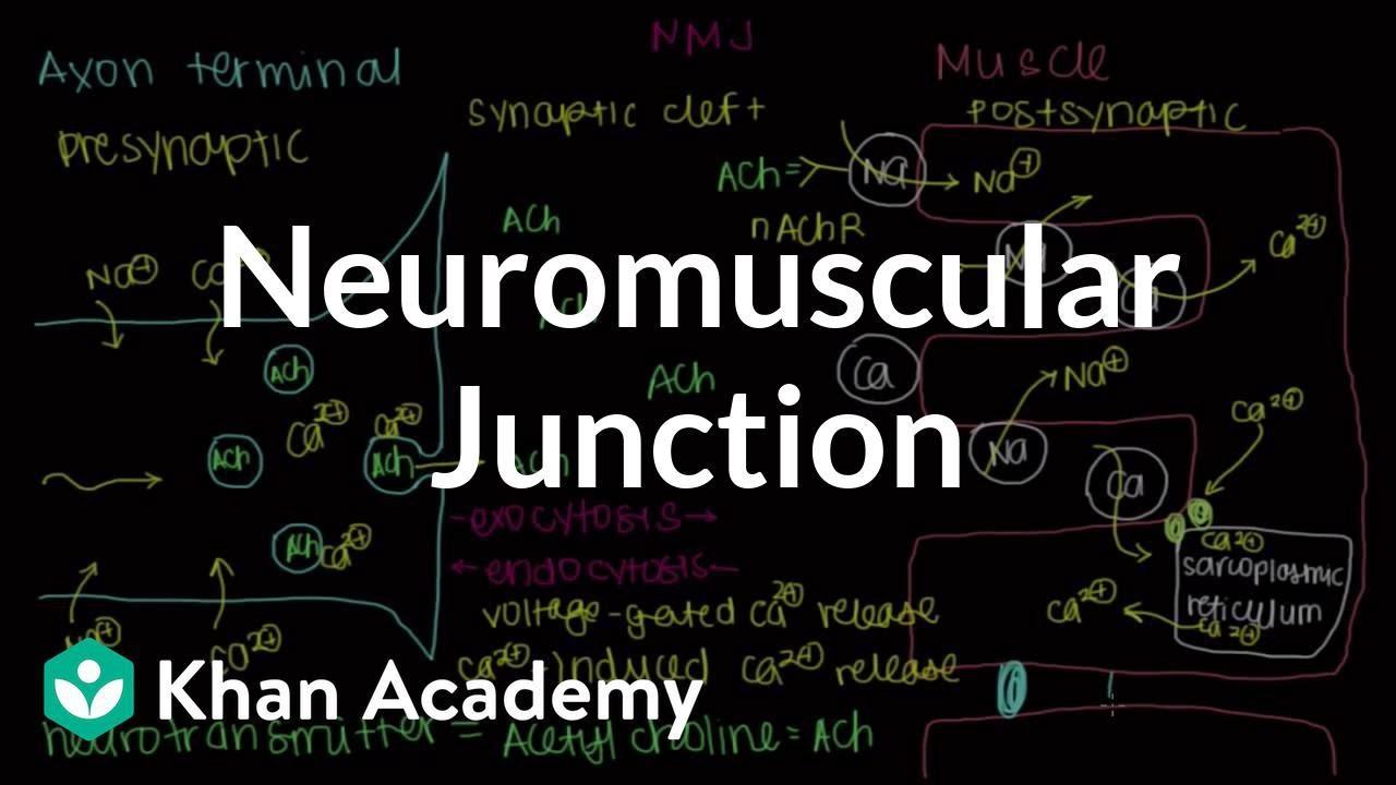 Neuromuscular junction, motor end-plate (video) | Khan Academy