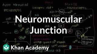 Neuromuscular junction, motor end-plate | NCLEX-RN | Khan Academy
