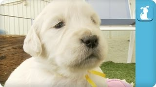 Golden Retriever Puppies And Legos
