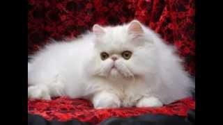 Popular Tabby cat & Persian cat videos