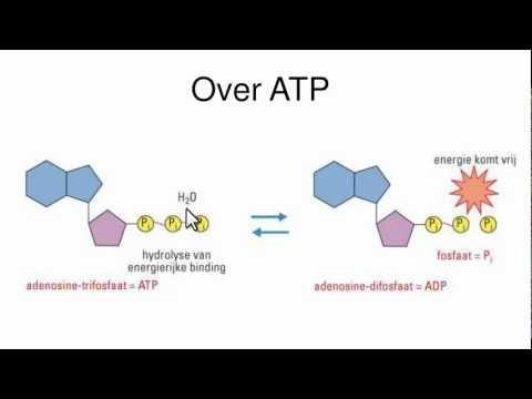 Dissimilatie van glucose - examenstof biologie VWO