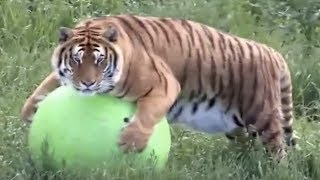 Rescued Tigers Pool Party at Wild Animal Sanctuary | The Dodo LIVE*