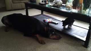 Doberman Pinscher Playing With Morky Puppy