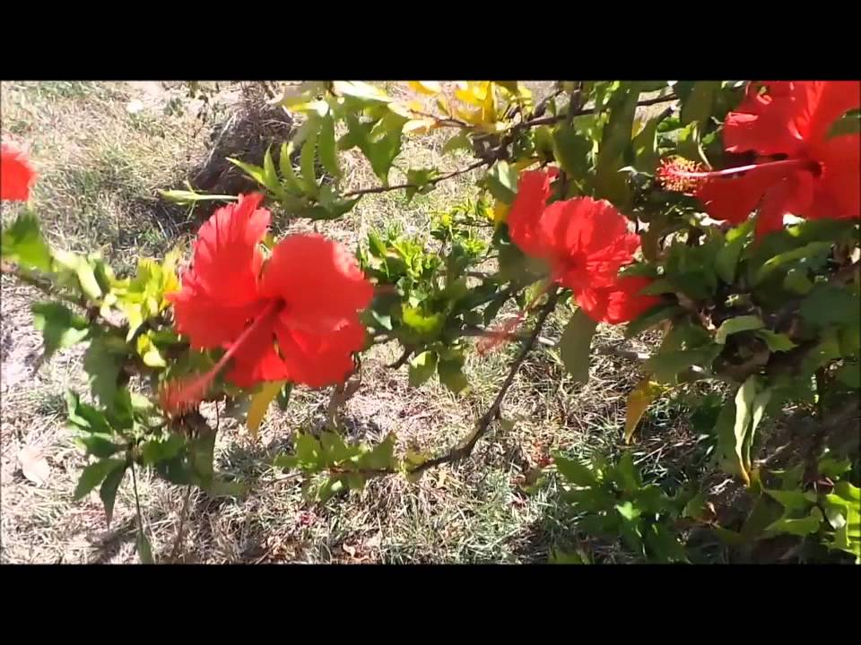 Hibiscus rouge de diego youtube for Hibiscus exterieur rouge