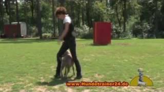 """Jagdhund Weimaraner """"enna"""" Ausgebildet In Der Hundeschule Velten"""