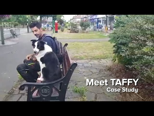 Meet Taffy, a border collie with behavioural challenges