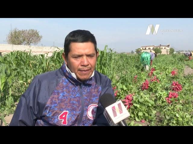 #SET #PueblaNoticias Productores de verduras resienten pérdidas ante contingencia