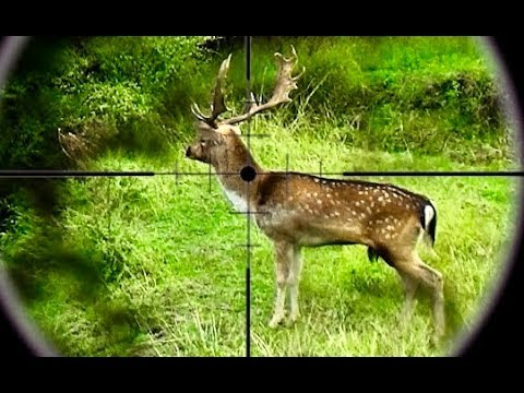 Hunting Two Fallow Deer With 243 And 308 Win Rifles In New Zealand # 238