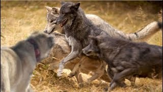 Single Kangal fights off a pack of hungry wolves!!!