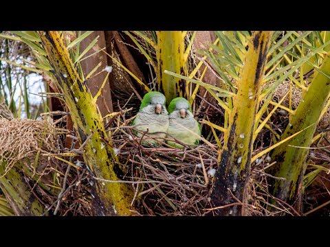 Попугаи-монахи (Myiopsitta monachus) на гнездах. Птицы Испании.