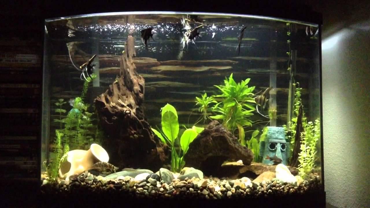 36 Gallon Bowfront Aquarium Angelfish Tank Youtube