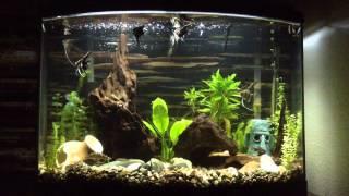 36 gallon bowfront aquarium angelfish tank