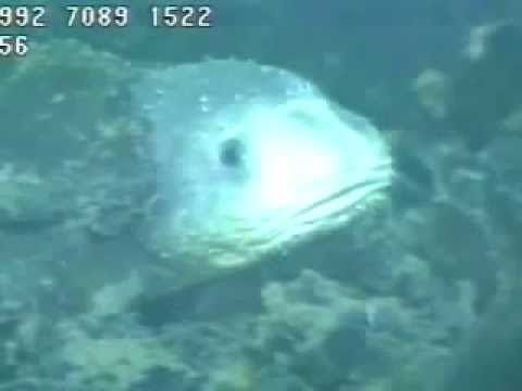 Blob Sculpin Relative Of The Blobfish Actual Footage