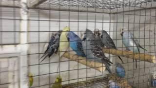 Продажа выставочных волнистых попугаев из питомника г. Краснодара