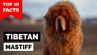 Tibetan Mastiff  Top 10 Facts