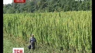 На Сумщині спокійно вирощують 100 гектарів коноплі