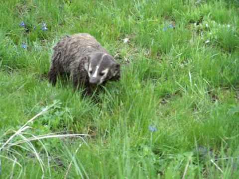 American Badger in Yellowstone