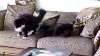 Eddie the teckel  Versus Musclor the cat  Round 2